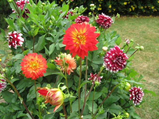 The Old Fella's prize winning dahlias